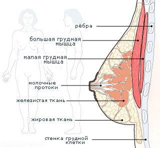 как увеличить мышцы груди